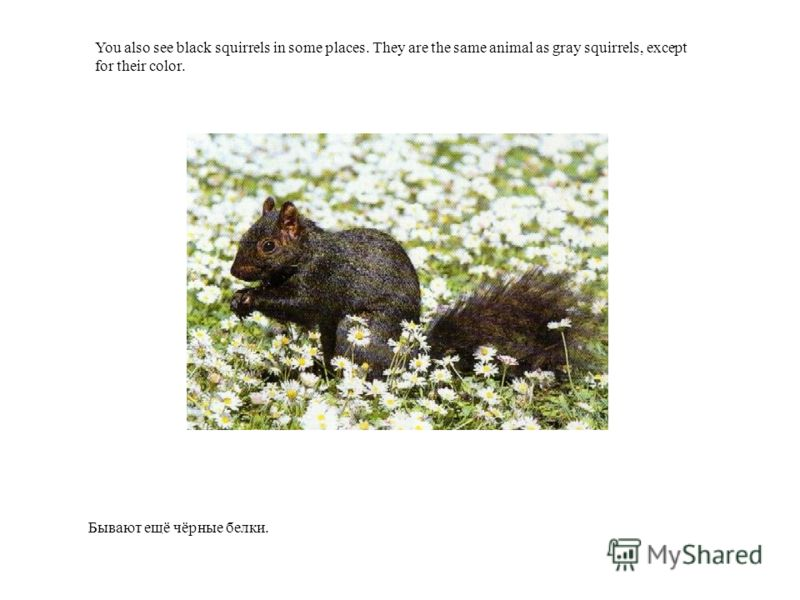 Бывают ещё чёрные белки. You also see black squirrels in some places. They are the same animal as gray squirrels, except for their color.