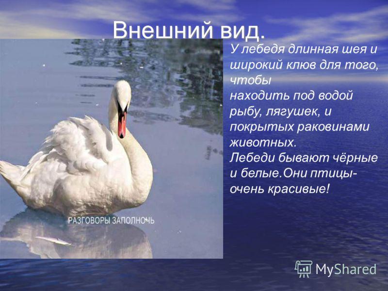 Внешний вид. У лебедя длинная шея и широкий клюв для того, чтобы находить под водой рыбу, лягушек, и покрытых раковинами животных. Лебеди бывают чёрные и белые.Они птицы- очень красивые!