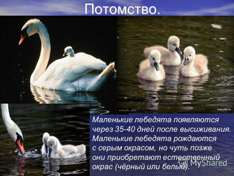 Потомство. Маленькие лебедята появляются через 35-40 дней после высиживания. Маленькие лебедята рождаются с серым окрасом, но чуть позже они приобретают естественный окрас (чёрный или белый).