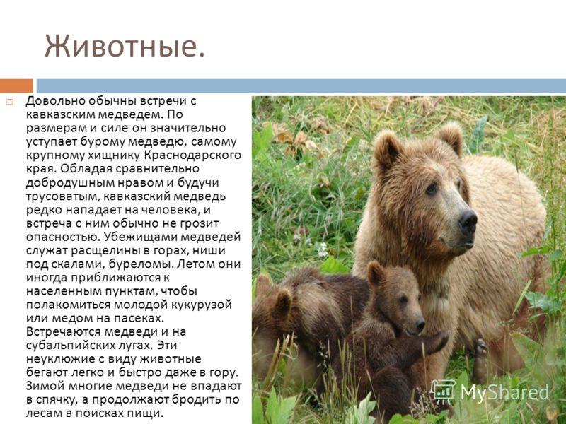 Животные. Довольно обычны встречи с кавказским медведем. По размерам и силе он значительно уступает бурому медведю, самому крупному хищнику Краснодарского края. Обладая сравнительно добродушным нравом и будучи трусоватым, кавказский медведь редко нап