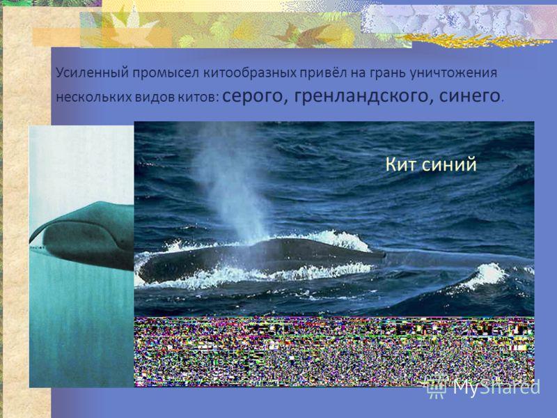 Усиленный промысел китообразных привёл на грань уничтожения нескольких видов китов: серого, гренландского, синего. Кит гренландский Кит синий