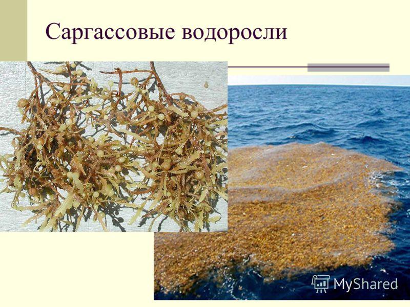 Саргассовые водоросли