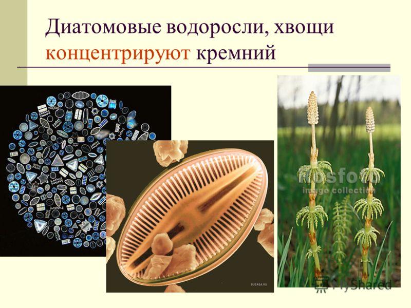 Диатомовые водоросли, хвощи концентрируют кремний