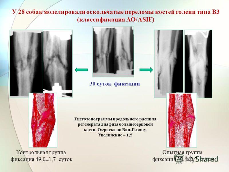 30 суток фиксации Опытная группа фиксация 32,4±2,7 суток У 28 собак моделировали оскольчатые переломы костей голени типа В3 (классификация АО/АSIF) Контрольная группа фиксация 49,0±1,7 суток Гистотопограммы продольного распила регенерата диафиза боль