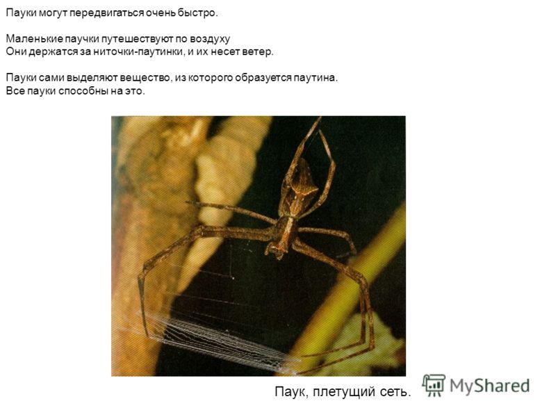 Паук, плетущий сеть. Пауки могут передвигаться очень быстро. Маленькие паучки путешествуют по воздуху Они держатся за ниточки-паутинки, и их несет ветер. Пауки сами выделяют вещество, из которого образуется паутина. Все пауки способны на это.