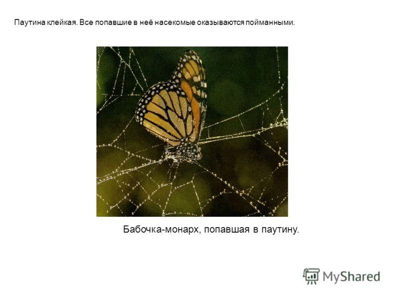 Бабочка-монарх, попавшая в паутину. Паутина клейкая. Все попавшие в неё насекомые оказываются пойманными.