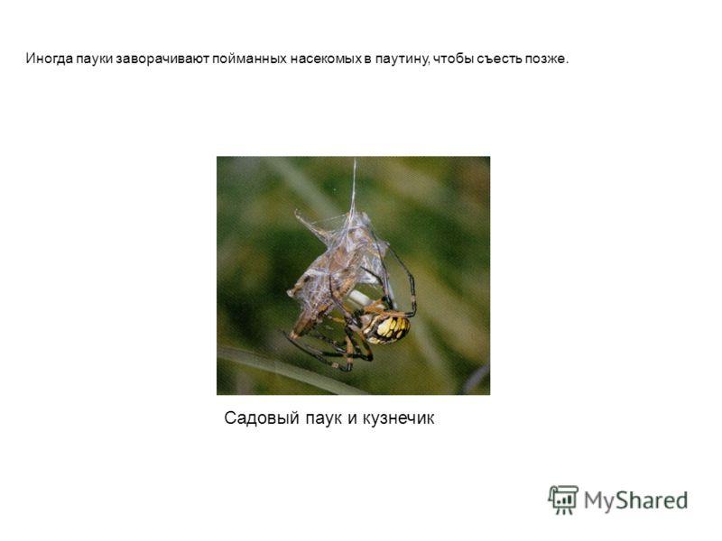 Садовый паук и кузнечик Иногда пауки заворачивают пойманных насекомых в паутину, чтобы съесть позже.