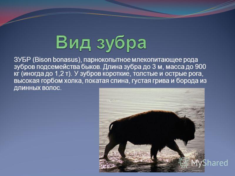 ЗУБР (Bison bonasus), парнокопытное млекопитающее рода зубров подсемейства быков. Длина зубра до 3 м, масса до 900 кг (иногда до 1,2 т). У зубров короткие, толстые и острые рога, высокая горбом холка, покатая спина, густая грива и борода из длинных в
