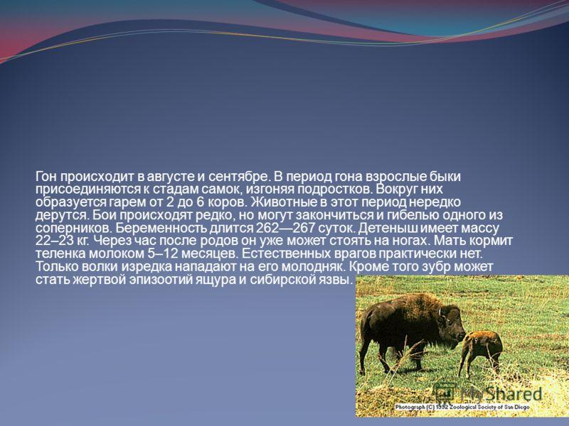 Гон происходит в августе и сентябре. В период гона взрослые быки присоединяются к стадам самок, изгоняя подростков. Вокруг них образуется гарем от 2 до 6 коров. Животные в этот период нередко дерутся. Бои происходят редко, но могут закончиться и гибе