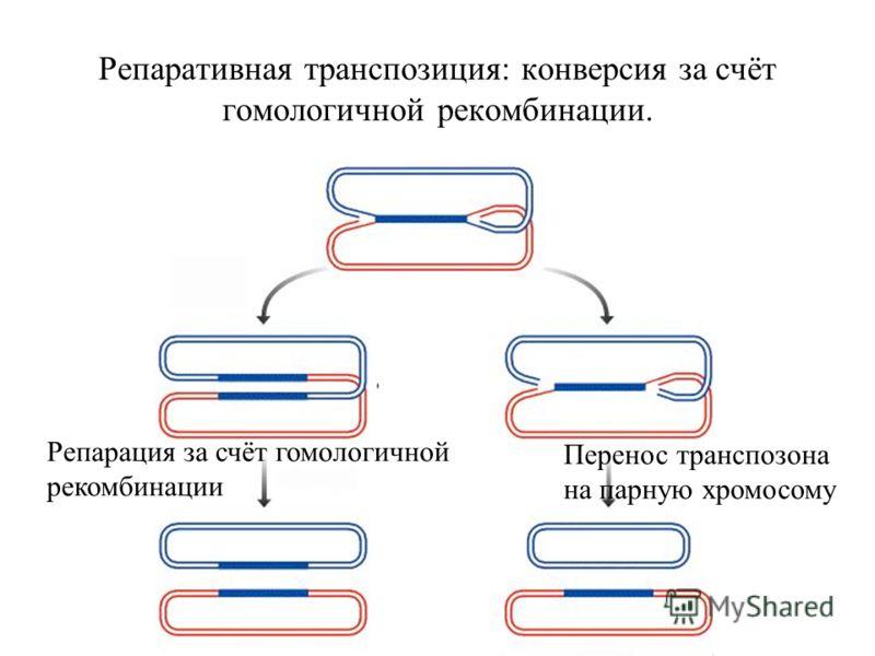 Репаративная транспозиция: конверсия за счёт гомологичной рекомбинации. Перенос транспозона на парную хромосому Репарация за счёт гомологичной рекомбинации