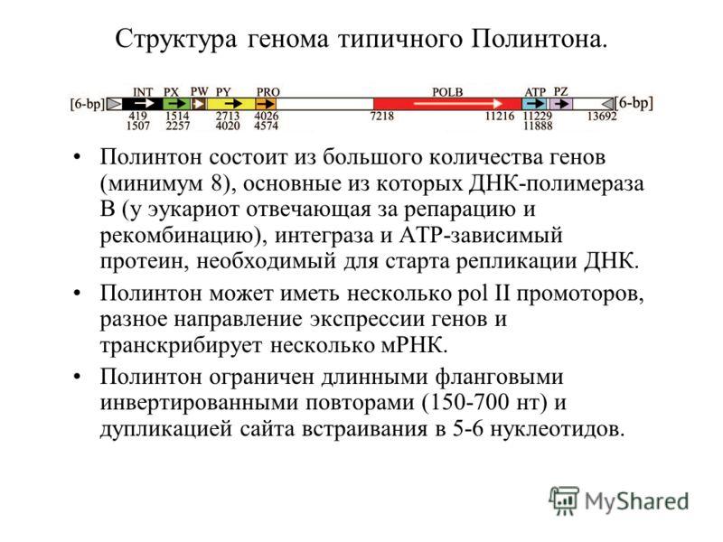 Структура генома типичного Полинтона. Полинтон состоит из большого количества генов (минимум 8), основные из которых ДНК-полимераза B (у эукариот отвечающая за репарацию и рекомбинацию), интеграза и ATP-зависимый протеин, необходимый для старта репли