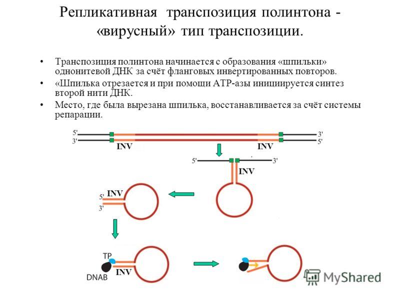 Репликативная транспозиция полинтона - «вирусный» тип транспозиции. Транспозиция полинтона начинается с образования «шпильки» однонитевой ДНК за счёт фланговых инвертированных повторов. «Шпилька отрезается и при помощи ATP-азы инициируется синтез вто
