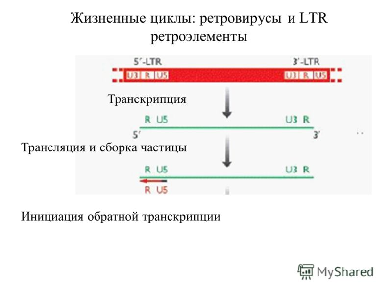 Жизненные циклы: ретровирусы и LTR ретроэлементы Транскрипция Трансляция и сборка частицы Инициация обратной транскрипции