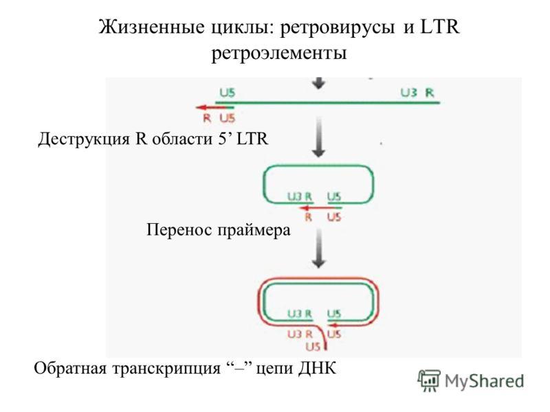 Жизненные циклы: ретровирусы и LTR ретроэлементы Деструкция R области 5 LTR Перенос праймера Обратная транскрипция – цепи ДНК