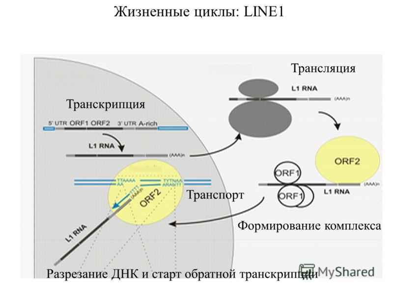 Жизненные циклы: LINE1 Транскрипция Трансляция Формирование комплекса Разрезание ДНК и старт обратной транскрипции Транспорт