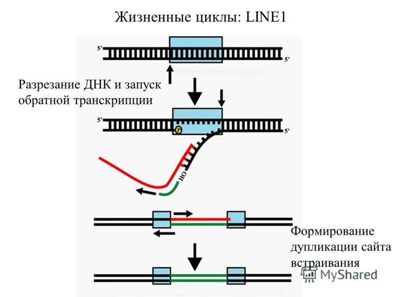 Жизненные циклы: LINE1 Разрезание ДНК и запуск обратной транскрипции Формирование дупликации сайта встраивания