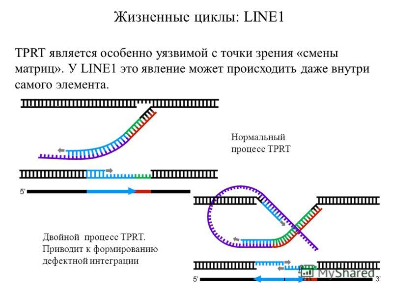 Жизненные циклы: LINE1 TPRT является особенно уязвимой с точки зрения «смены матриц». У LINE1 это явление может происходить даже внутри самого элемента. Нормальный процесс TPRT Двойной процесс TPRT. Приводит к формированию дефектной интеграции