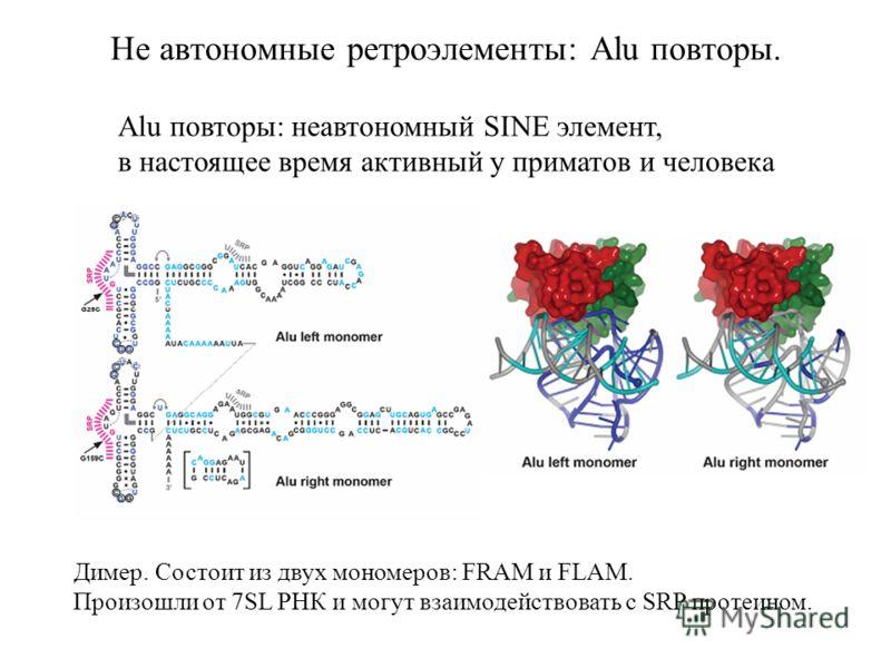 Не автономные ретроэлементы: Alu повторы. Alu повторы: неавтономный SINE элемент, в настоящее время активный у приматов и человека Димер. Состоит из двух мономеров: FRAM и FLAM. Произошли от 7SL РНК и могут взаимодействовать с SRP протеином.