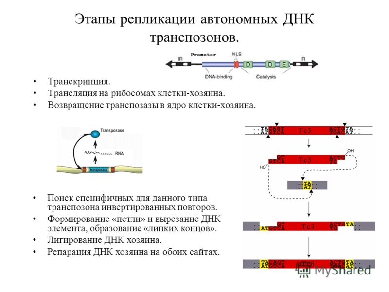 Этапы репликации автономных ДНК транспозонов. Транскрипция. Трансляция на рибосомах клетки-хозяина. Возвращение транспозазы в ядро клетки-хозяина. Поиск специфичных для данного типа транспозона инвертированных повторов. Формирование «петли» и вырезан