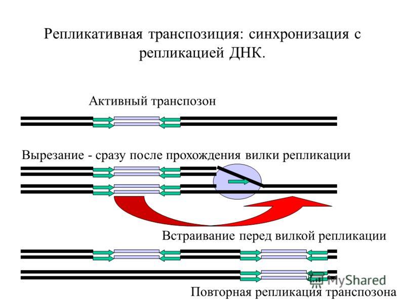 Репликативная транспозиция: синхронизация с репликацией ДНК. Активный транспозон Вырезание - сразу после прохождения вилки репликации Встраивание перед вилкой репликации Повторная репликация транспозона