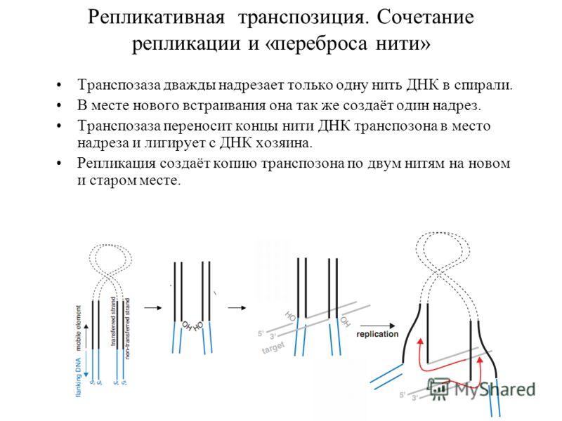 Репликативная транспозиция. Сочетание репликации и «переброса нити» Транспозаза дважды надрезает только одну нить ДНК в спирали. В месте нового встраивания она так же создаёт один надрез. Транспозаза переносит концы нити ДНК транспозона в место надре