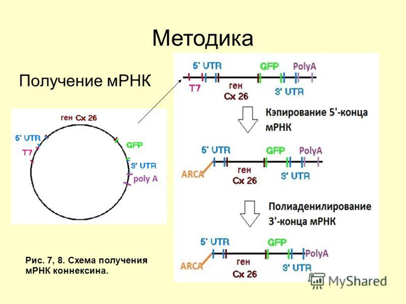 Получение мРНК Методика Рис. 7, 8. Схема получения мРНК коннексина.