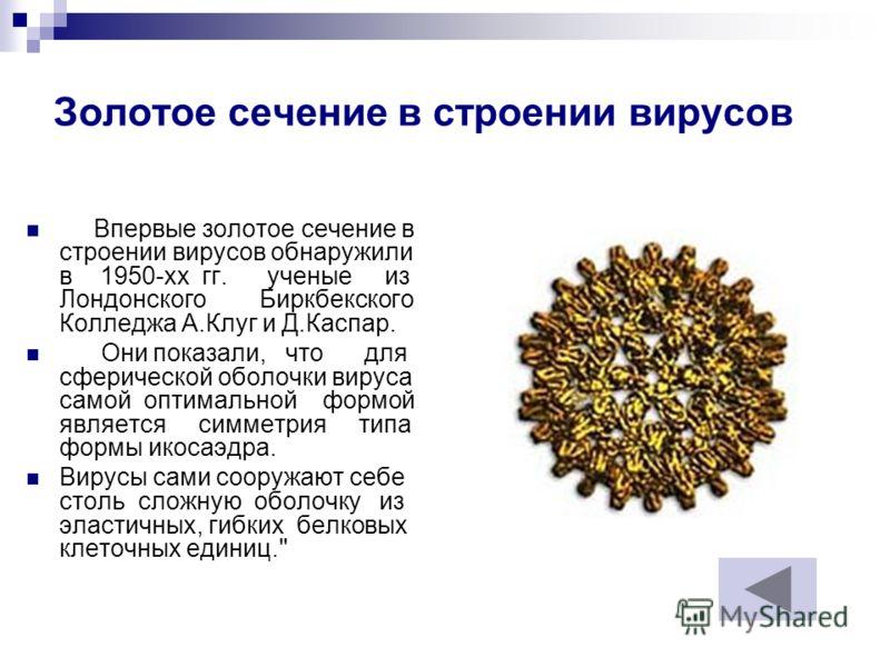 Золотое сечение в строении вирусов Впервые золотое сечение в строении вирусов обнаружили в 1950-хх гг. ученые из Лондонского Биркбекского Колледжа А.Клуг и Д.Каспар. Они показали, что для сферической оболочки вируса самой оптимальной формой является