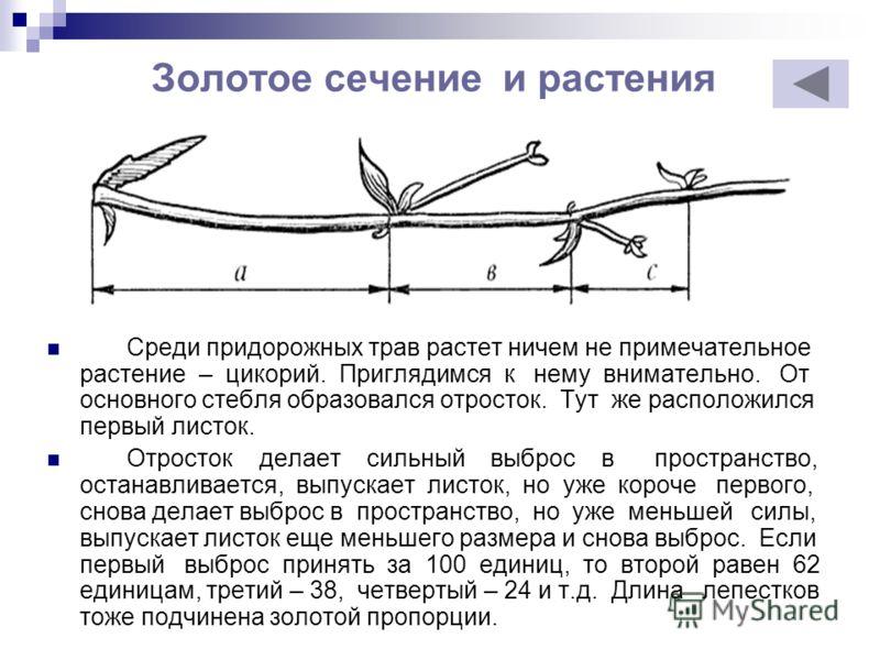 Золотое сечение и растения Среди придорожных трав растет ничем не примечательное растение – цикорий. Приглядимся к нему внимательно. От основного стебля образовался отросток. Тут же расположился первый листок. Отросток делает сильный выброс в простра