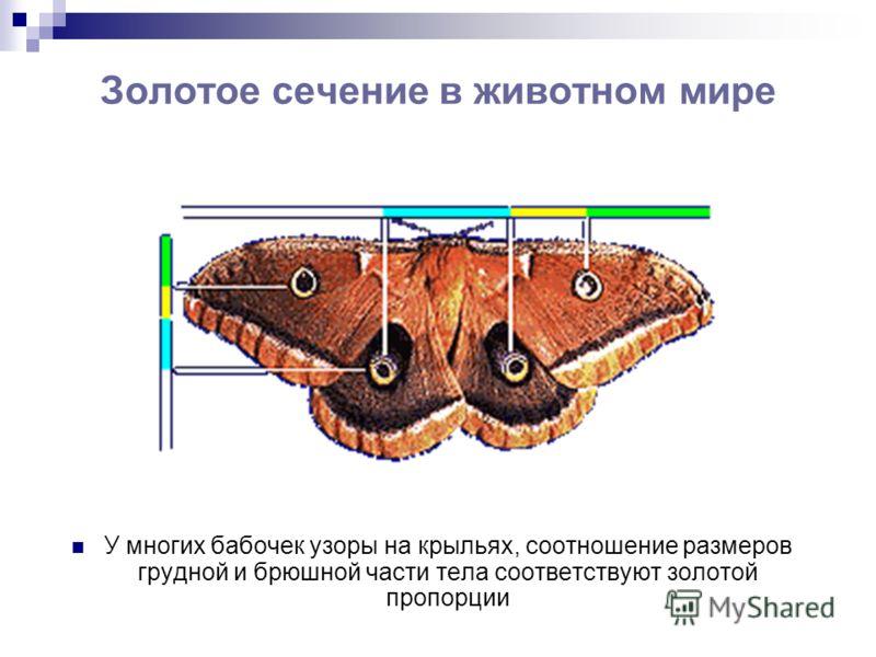 Золотое сечение в животном мире У многих бабочек узоры на крыльях, соотношение размеров грудной и брюшной части тела соответствуют золотой пропорции