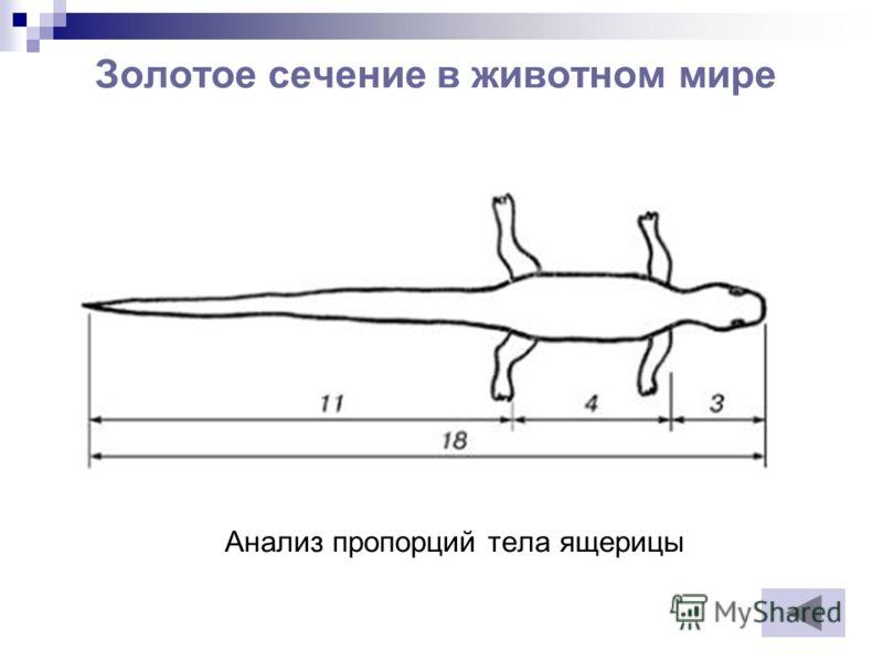 Золотое сечение в животном мире Анализ пропорций тела ящерицы