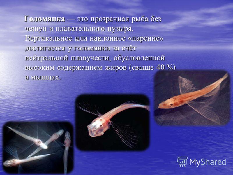 Голомянка это прозрачная рыба без чешуи и плавательного пузыря. Вертикальное или наклонное «парение» достигается у голомянки за счёт нейтральной плавучести, обусловленной высоким содержанием жиров (свыше 40 %) в мышцах. Голомянка это прозрачная рыба