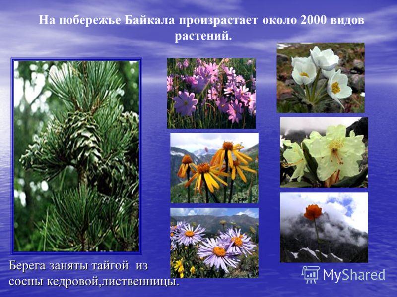Берега заняты тайгой из сосны кедровой,лиственницы. На побережье Байкала произрастает около 2000 видов растений.