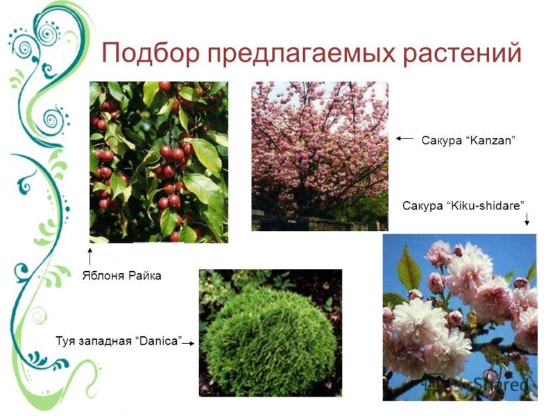 Подбор предлагаемых растений Яблоня Райка Туя западная Danica Сакура Kanzan Сакура Kiku-shidare