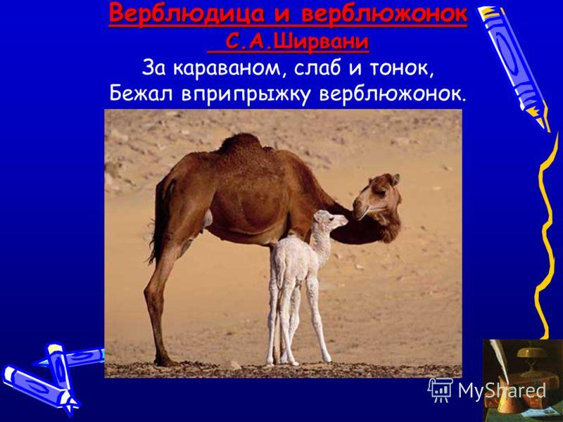 Верблюдица и верблюжонок С.А.Ширвани С.А.Ширвани За караваном, слаб и тонок, Бежал вприпрыжку верблюжонок.