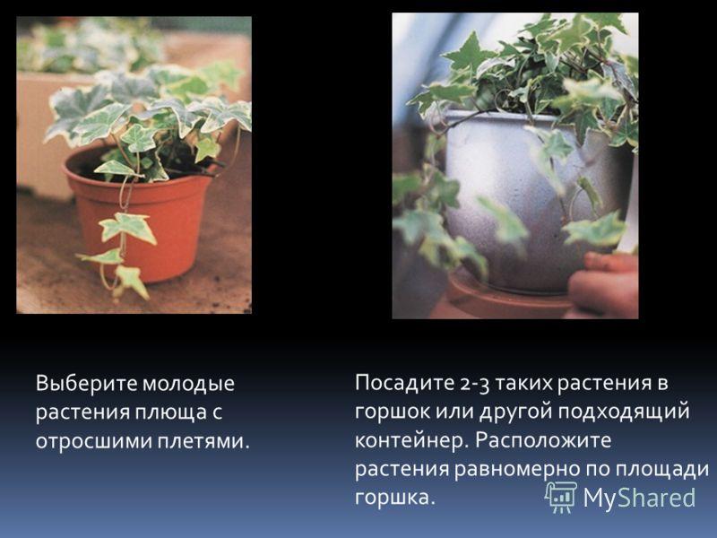 Выберите молодые растения плюща с отросшими плетями. Посадите 2-3 таких растения в горшок или другой подходящий контейнер. Расположите растения равномерно по площади горшка.