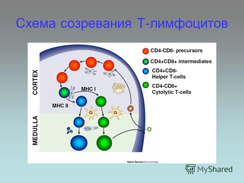 Схема созревания Т-лимфоцитов