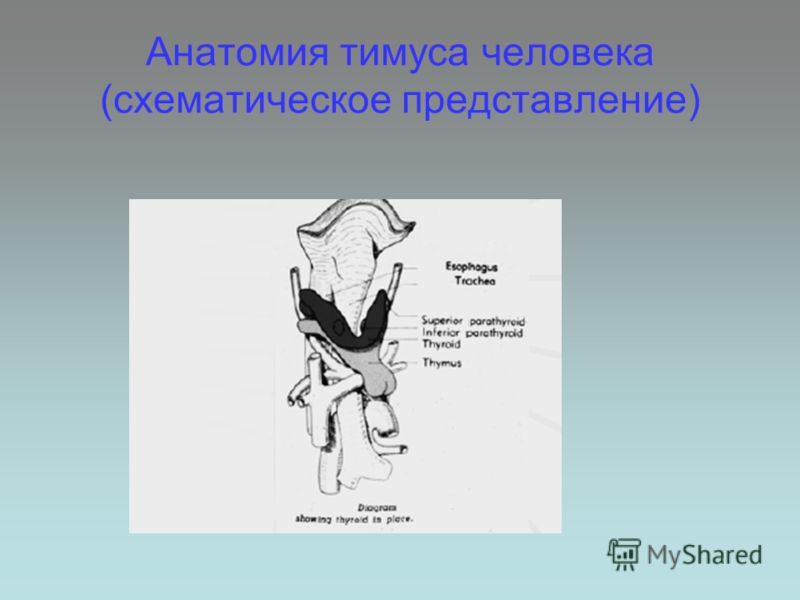 Анатомия тимуса человека (схематическое представление)