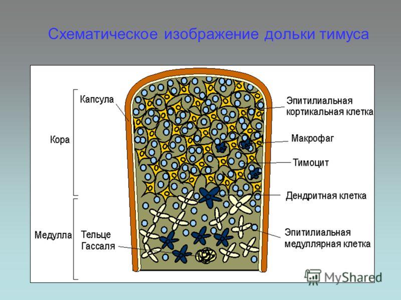 Схематическое изображение дольки тимуса
