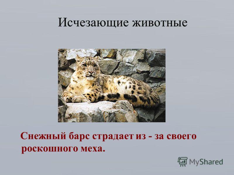 Исчезающие животные Снежный барс страдает из - за своего роскошного меха.