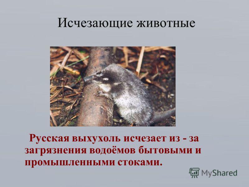Исчезающие животные Русская выхухоль исчезает из - за загрязнения водоёмов бытовыми и промышленными стоками.