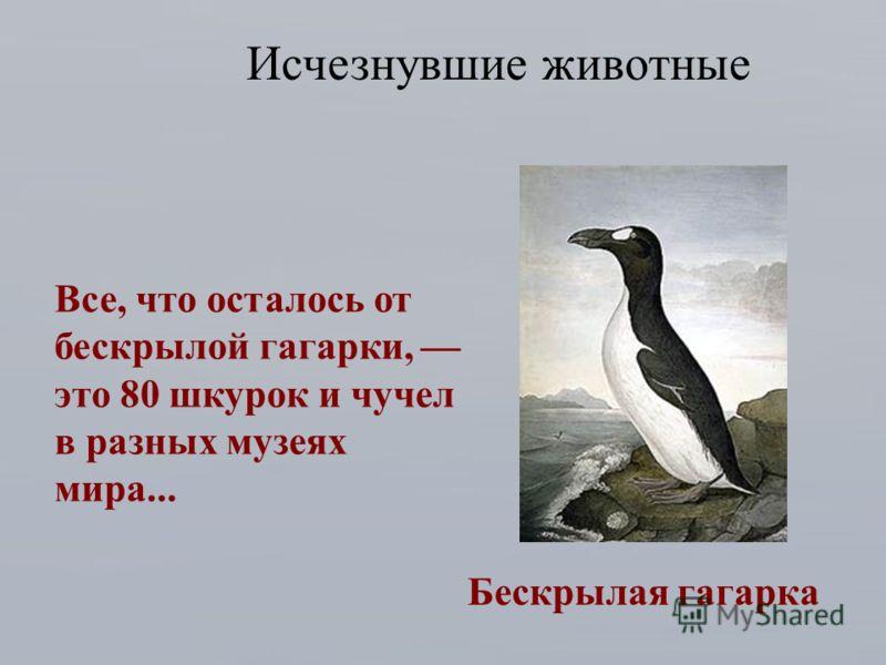 Бескрылая гагарка Исчезнувшие животные Все, что осталось от бескрылой гагарки, это 80 шкурок и чучел в разных музеях мира...