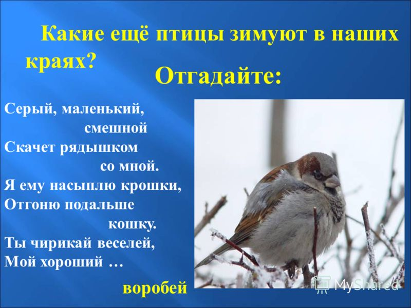 Отгадайте: Какие ещё птицы зимуют в наших краях? Серый, маленький, смешной Скачет рядышком со мной. Я ему насыплю крошки, Отгоню подальше кошку. Ты чирикай веселей, Мой хороший … воробей