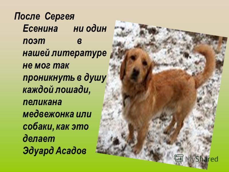 После Сергея Есенина ни один поэт в нашей литературе не мог так проникнуть в душу каждой лошади, пеликана медвежонка или собаки, как это делает Эдуард Асадов