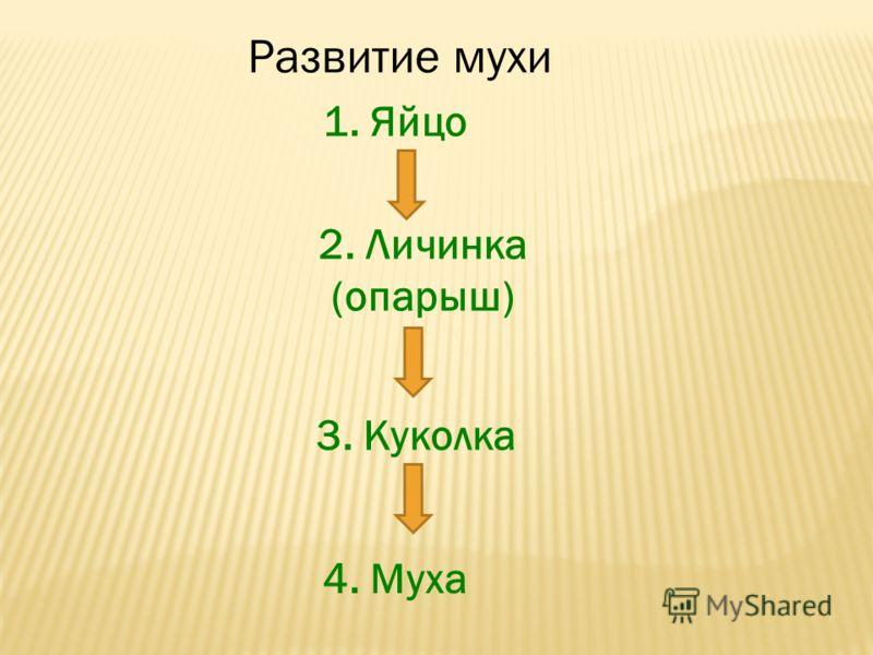 Развитие мухи 1. Яйцо 2. Личинка (опарыш) 3. Куколка 4. Муха