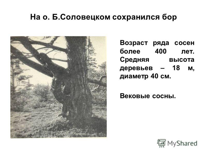 На о. Б.Соловецком сохранился бор Возраст ряда сосен более 400 лет. Средняя высота деревьев – 18 м, диаметр 40 см. Вековые сосны.