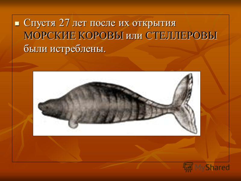 Спустя 27 лет после их открытия МОРСКИЕ КОРОВЫ или СТЕЛЛЕРОВЫ были истреблены. Спустя 27 лет после их открытия МОРСКИЕ КОРОВЫ или СТЕЛЛЕРОВЫ были истреблены.