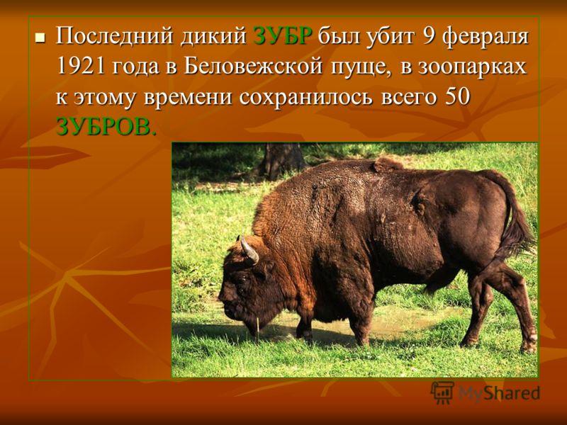 Последний дикий ЗУБР был убит 9 февраля 1921 года в Беловежской пуще, в зоопарках к этому времени сохранилось всего 50 ЗУБРОВ. Последний дикий ЗУБР был убит 9 февраля 1921 года в Беловежской пуще, в зоопарках к этому времени сохранилось всего 50 ЗУБР
