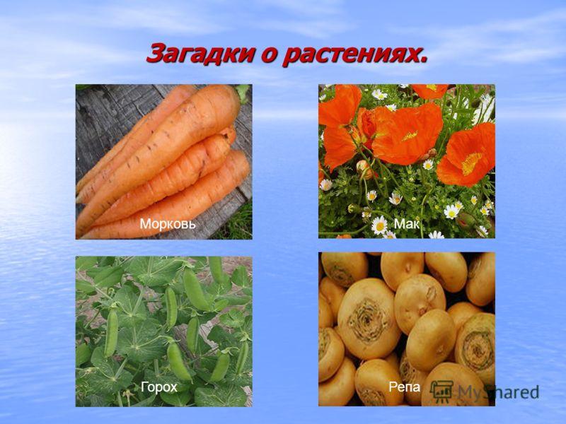 Загадки о растениях. МорковьМак ГорохРепа
