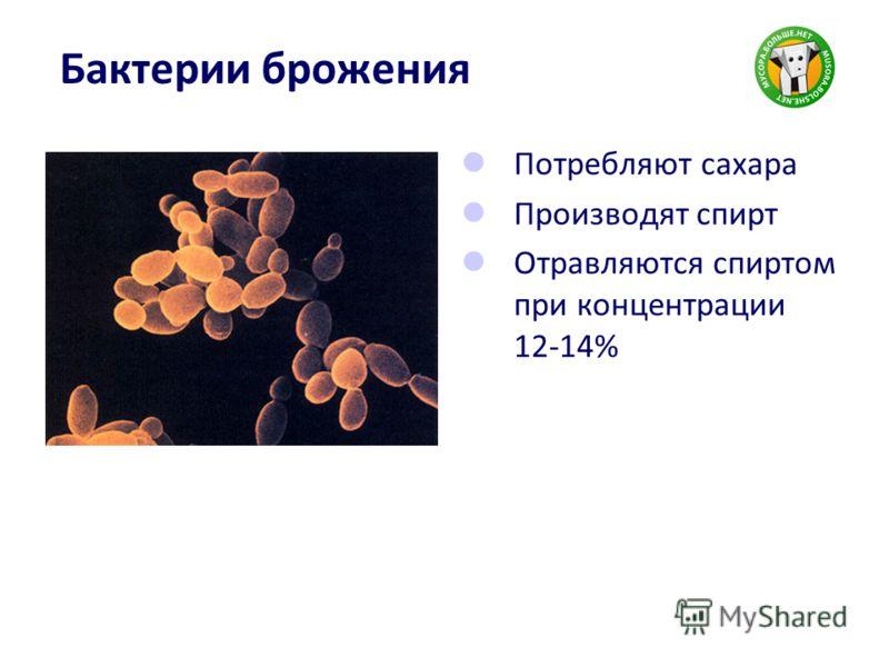 Бактерии брожения Потребляют сахара Производят спирт Отравляются спиртом при концентрации 12-14%