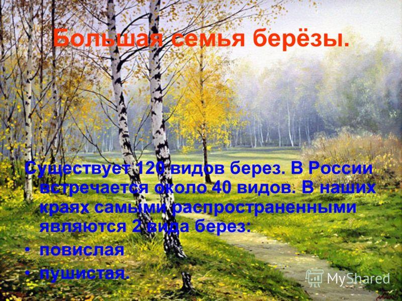 Большая семья берёзы. Существует 120 видов берез. В России встречается около 40 видов. В наших краях самыми распространенными являются 2 вида берез: повислая пушистая.